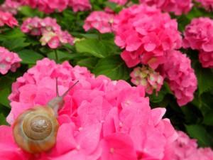梅雨のピンクあじさい